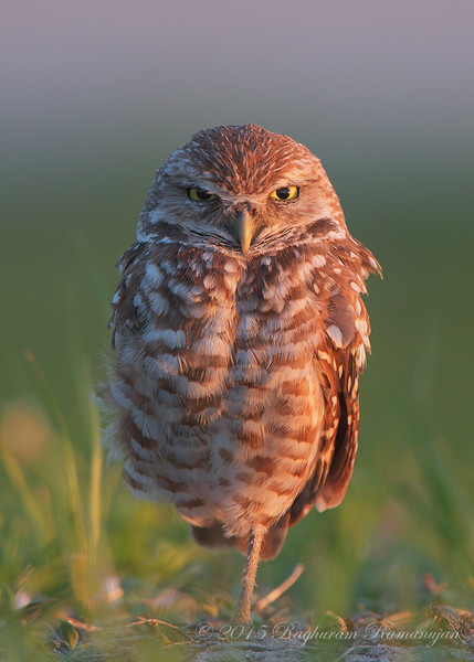Burrowing Owl<br /> Cape Coral, FL