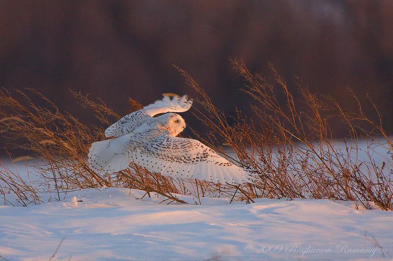 Snowy Owl<br /> Ovid, NY