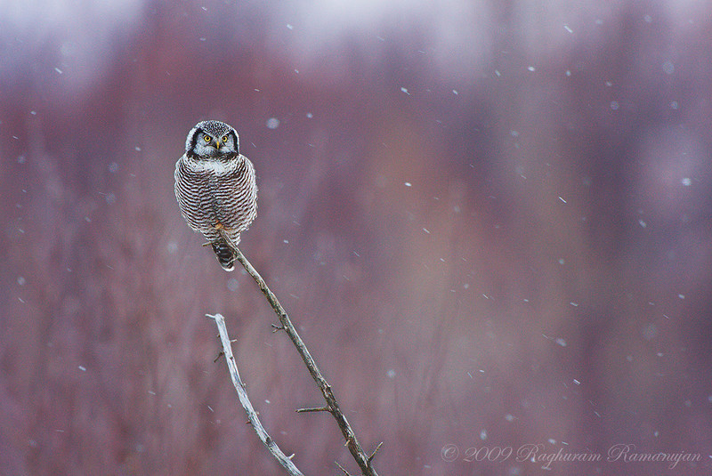 Northern Hawk Owl<br /> Peru, NY