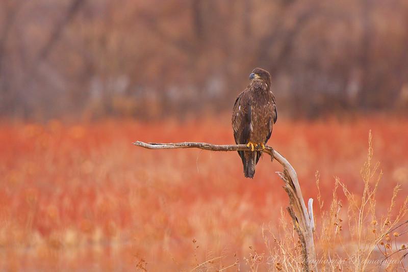 Juvenile Bald Eagle<br /> Bosque del Apache, NM