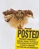 Short-eared Owl<br /> Groton, NY