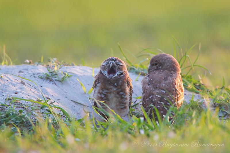 Burrowing Owls<br /> Cape Coral, FL