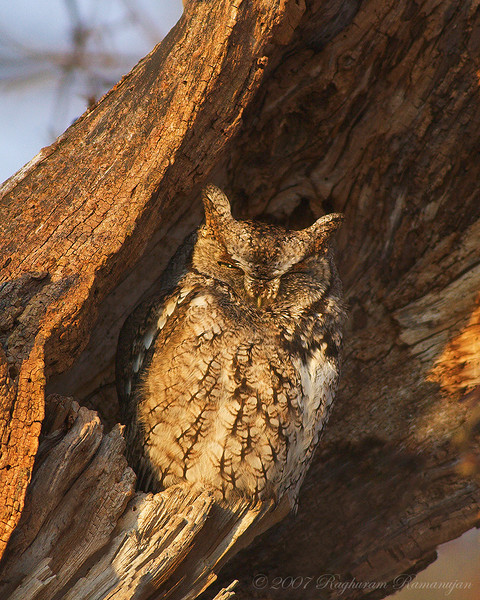 Eastern Screech Owl<br /> Ithaca, NY