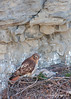 Red-tailed Hawks<br /> Ithaca, NY