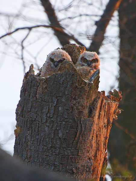Great Horned Owlets<br /> Point Pelee National Park, ON