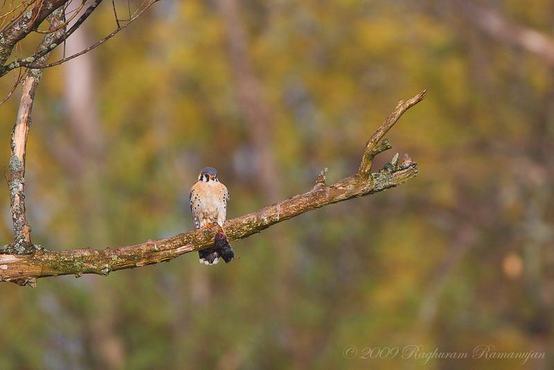 American Kestrel<br /> Ithaca, NY