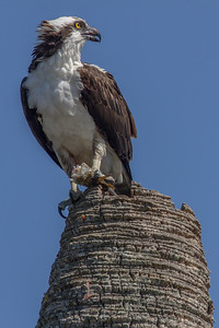 Osprey on Palm Stump