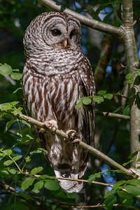 Barred Owl in Bright Sunlight