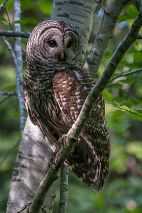 Barred Owl in Quaking Aspen Tree