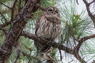 Barred Owl in White Pine Tree