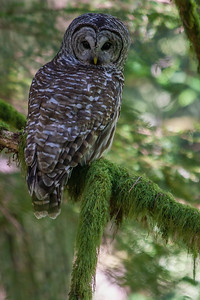 Barred Owl -- Pacific Northwest