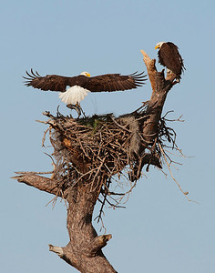 American bald eagles with fish