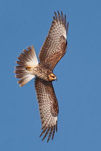 Female snail kite banking