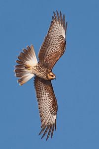 Female snail kite banking