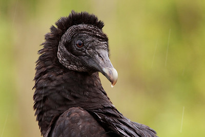 Black vulture and rain drops