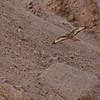 Common eastern (step) Buzzared.<br /> עקב חורף מזרחי
