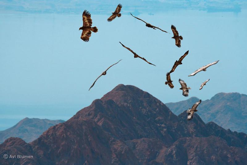 Step Eagles migration in a sand-storm over Eilat mountains and red-sea. 6 frames composed in photoshop.<br /> נדידת עיטי ערבות מעל הרי אילת בזמן סופת חול. 6 צילומים שונים מעובדים בפוטושופ לתמונה אחת.