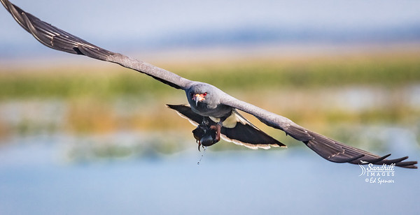 Florida snail kite, male