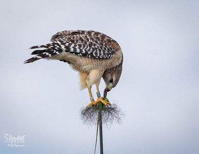 Red-shouldered hawk with iguana meal