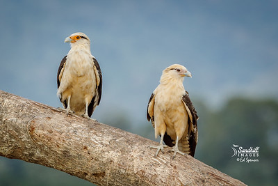Yellow-headed caracara, pair
