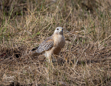 Red-shouldered hawk blending in with the newly cut fields