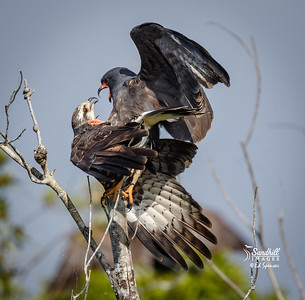 Florida snail kite pair mating