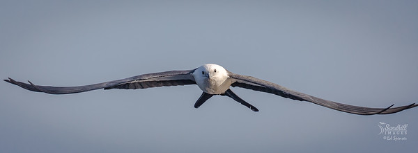 Swallow-tailed kite incoming!