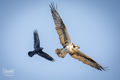Osprey on the run with crow in hot pursuit