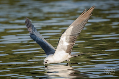 Swallow-tailed kite dipping for a drink