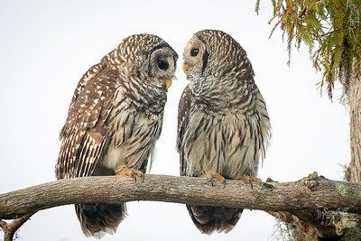 Barred owls, Florida