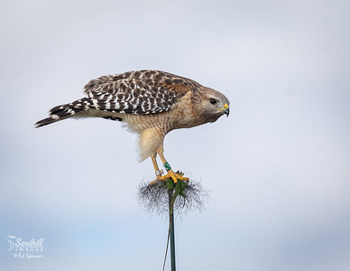 Red-shouldered hawk with iguana kill