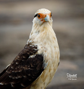 Yellow-headed caracara, male