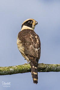 Laughing falcon. What a cool bird!