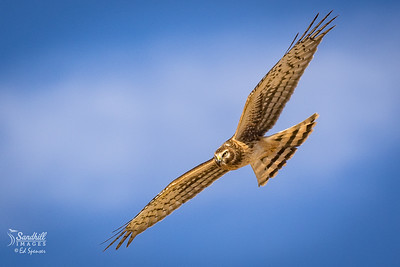Northern harrier, female, New Mexico