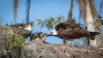 Osprey feeding one chick while the other stares us down