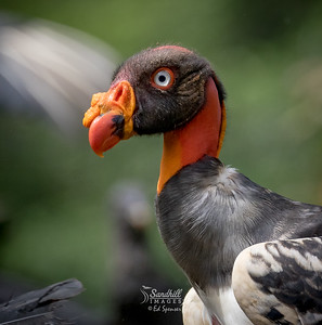 King vulture, juvenile