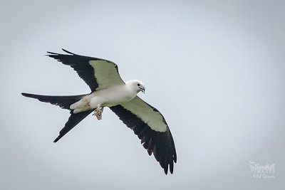 Swallow-tailed kite eating wasp larvae from a nest in its talons, on the wing