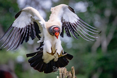 King vulture landing