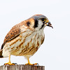 American Kestrel with Grasshopper