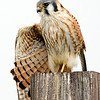 American Kestrel Stretching Wing