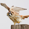 American Kestrel on One Leg