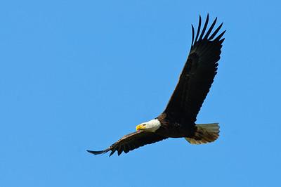 Bald Eagle-525