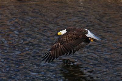 Bald Eagle-279