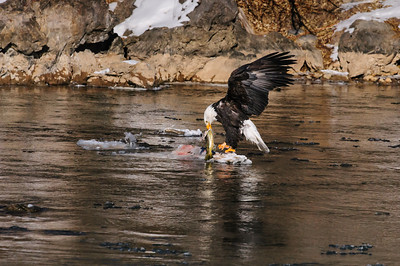 Bald Eagle-3601, Glenwood Springs, CO