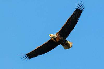 Bald Eagle-461