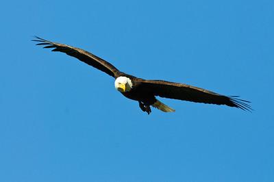 Bald Eagle-634