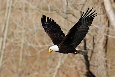 Bald Eagle-253