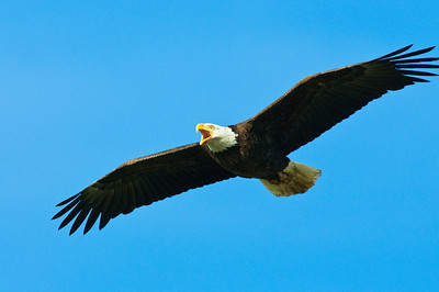 Bald Eagle-621