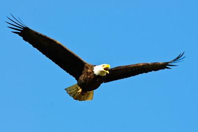 Bald Eagle-354