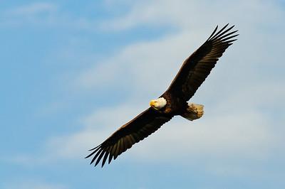 Bald Eagle-343